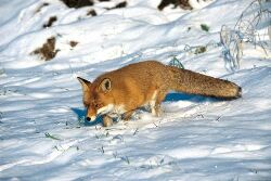 Fuchs Im Winter Deutsche Jagdzeitung