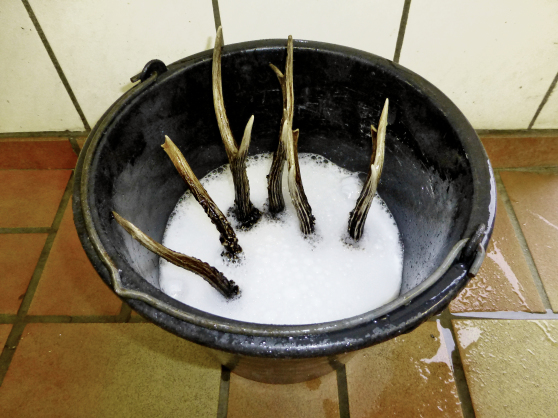 Rehbockgehörne in einem Eimer mit Wasser