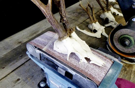 Rehbockgehörn auf einem Bandschleifer