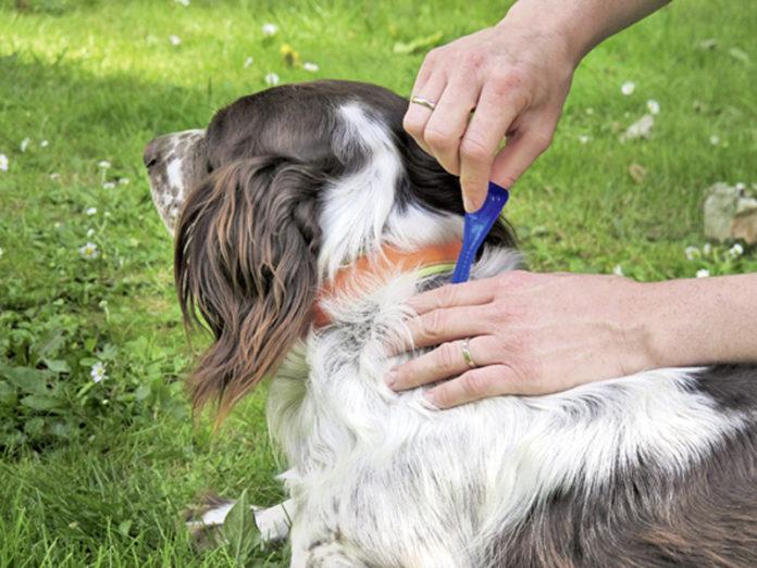 Zur Abwehr von Flöhen wird dem Hund ein Spot-on-Präparat im Nackenbereich ins Fell gegeben