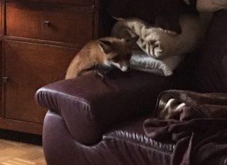Fuchs am Wohnzimmersessel
