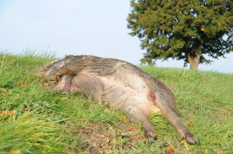 Totes Wildschwein