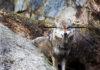 Wolf mit Absehen auf Kopf