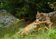 Wolf Soll in Niedersachsen ins Jagdrecht