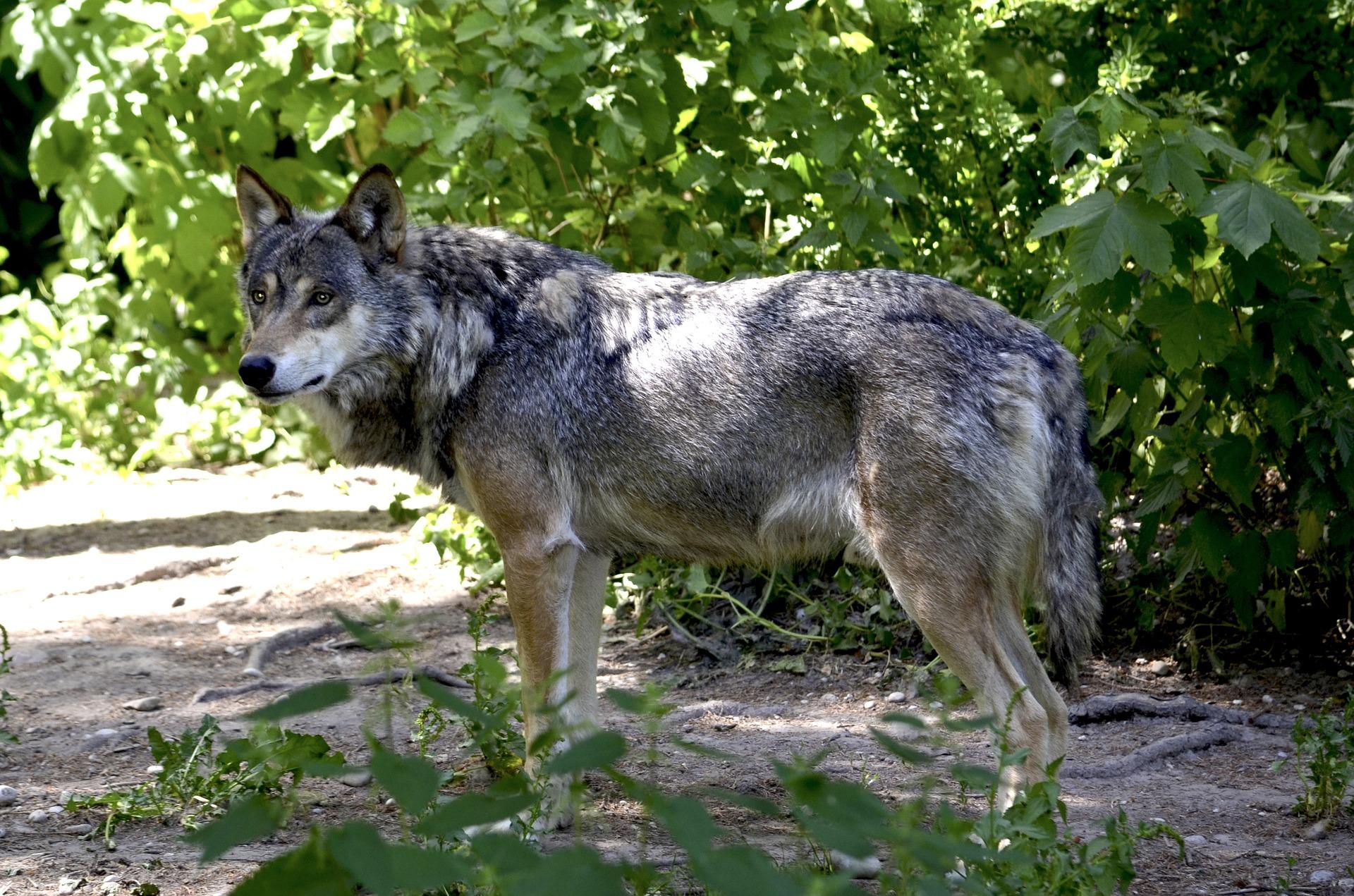 Wolf trifft auf Läuferin