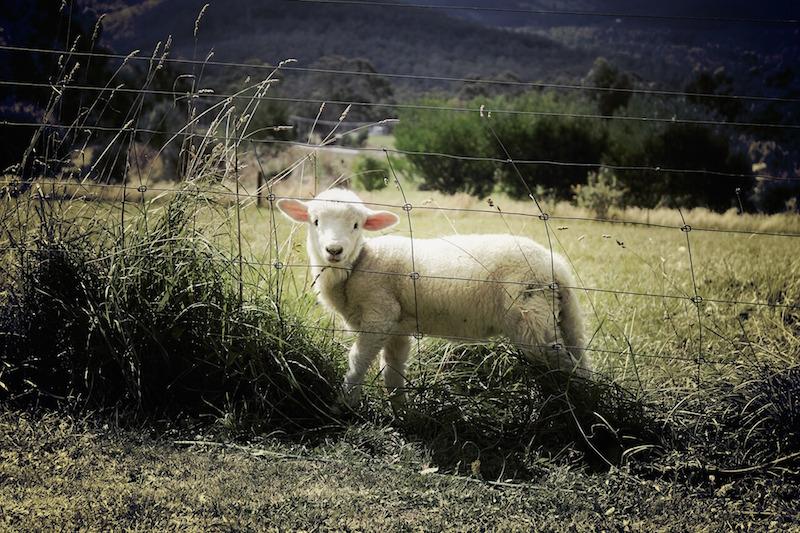 Wolf reisst Schaf und Lamm in Sachsen an Ostern