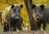 Strahlende Wildschweine in Tschernobyl