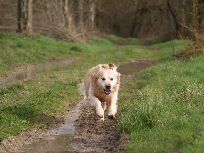 Freilaufender Hund auf Waldweg