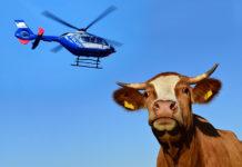 Kuh per Hubschrauber gesucht