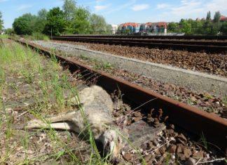 Tote Wölfin bei Bautzen gefunden
