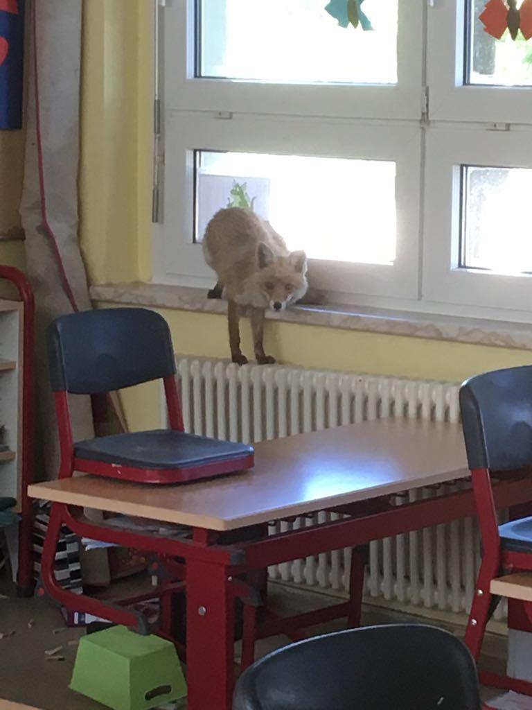 Fuchs in Schule