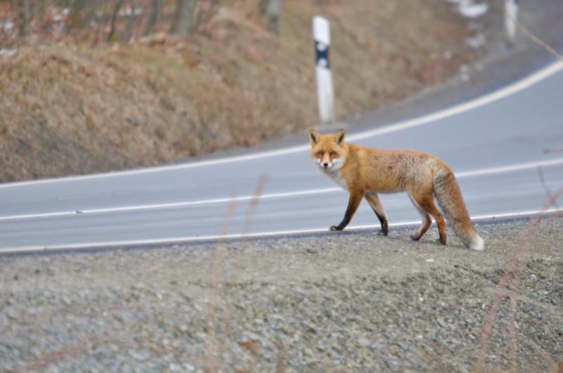 Fuchs an Straße