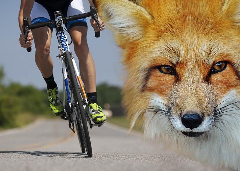 Fuchs bringt Fahrradfahrer zu Fall