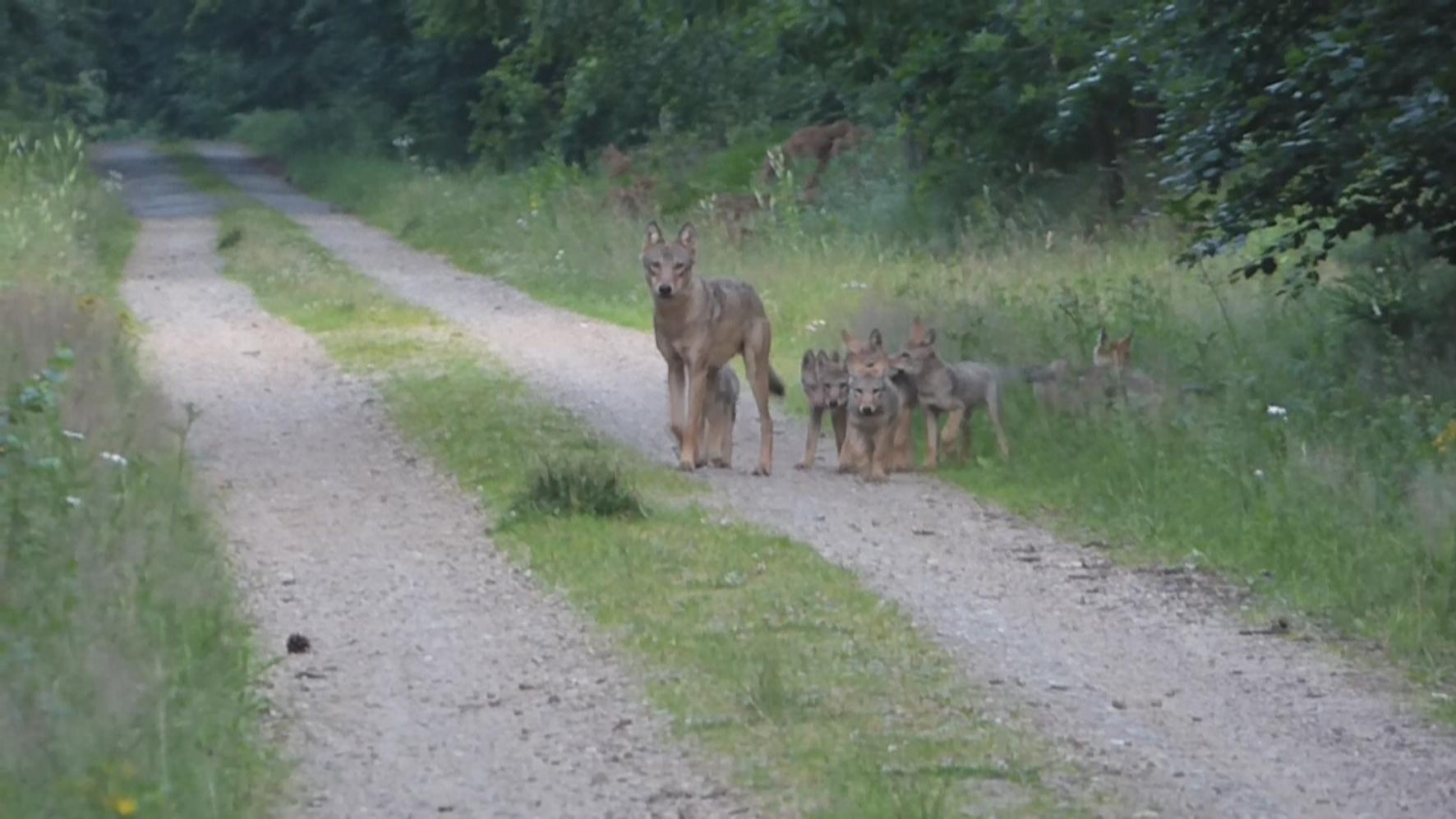 Wolfsmonitoring in Niedersachsen 2017