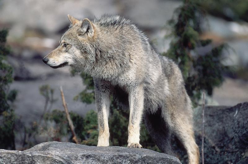 Ausgewachsener Wolf