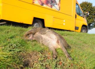 Überfahrenes Wildschwein am Straßenrand