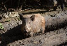 Wildschwein zwischen Holzstämmen