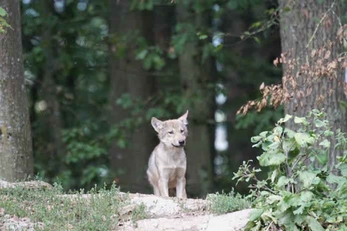 Wolfwelpe