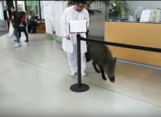 Wildschwein Krankenhaus