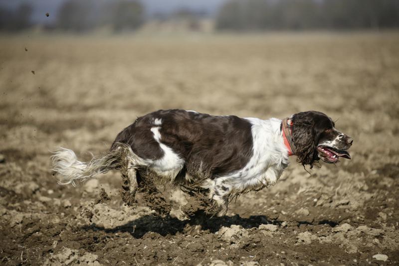 Hund rennt über einen gepflügten Acker.