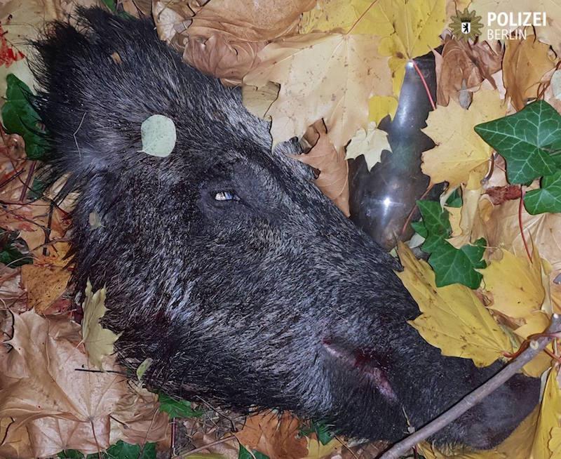 Wildschweinkopf