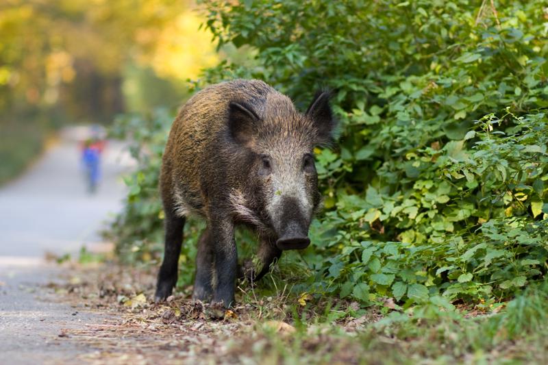 Wissenschaftler: Berliner Wildschweine ohne Angst vor dem Menschen - Deutsche Jagdzeitung