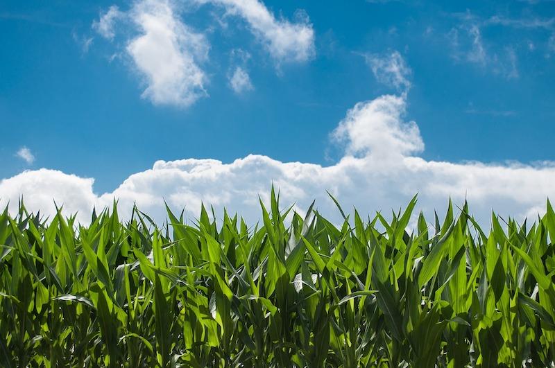 Maisfeld unter blauem Himmel