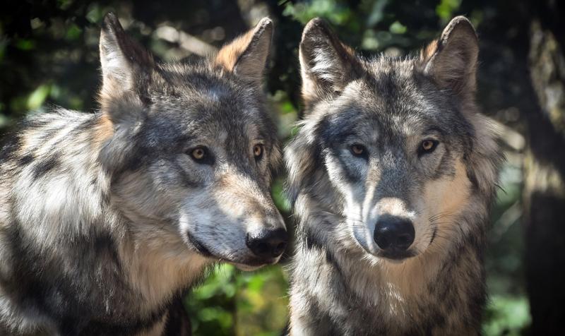 Schweiz: Erfolgreiche Wolfsvergrämung - Deutsche Jagdzeitung