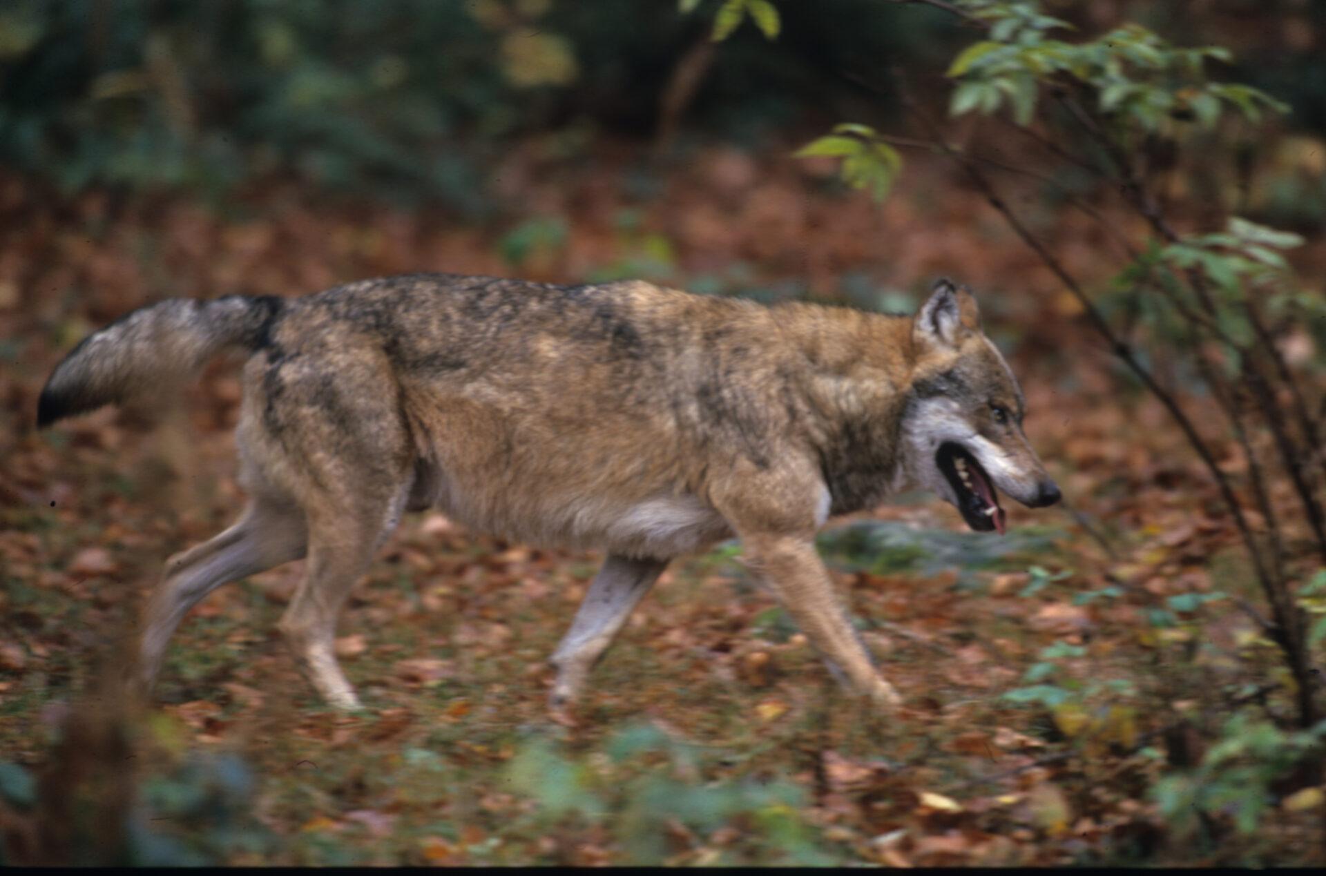 Problemwolf vergrößert Revier - Deutsche Jagdzeitung