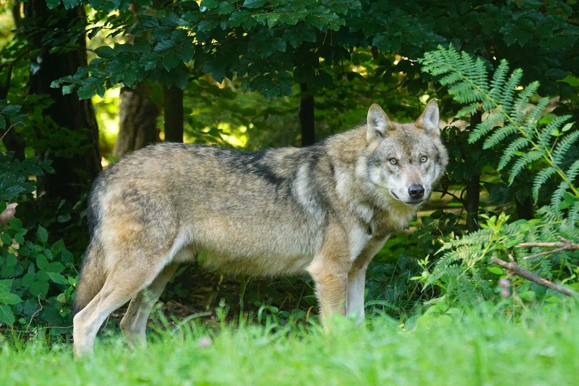 Weitere Wolfsnachweise im Westerwald - Deutsche Jagdzeitung