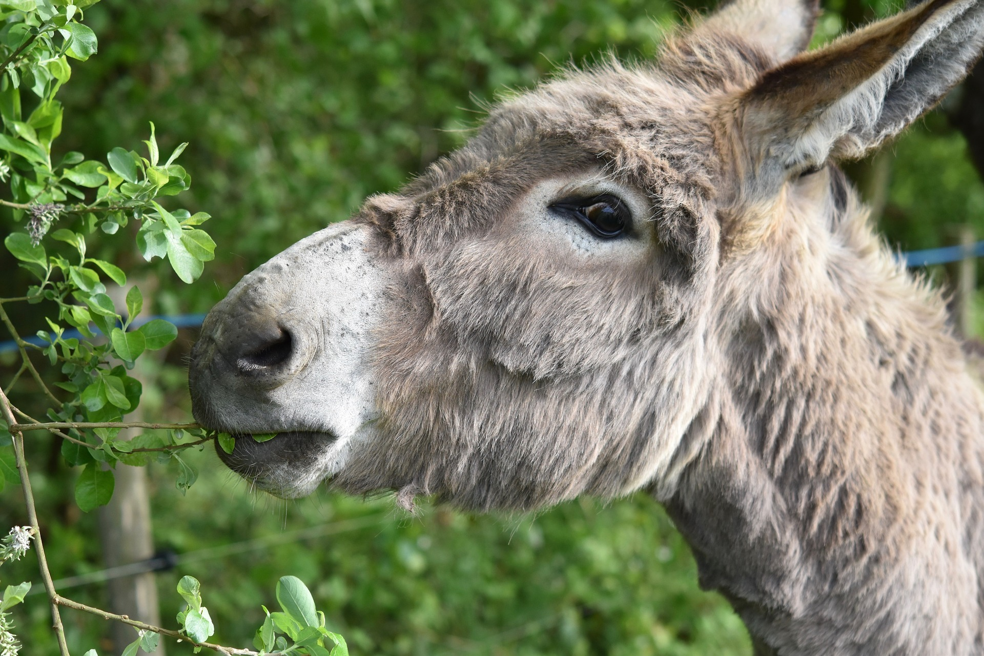 Kopf eines Esels