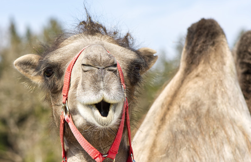 Kamel löst Polizeieinsatz aus - Deutsche Jagdzeitung