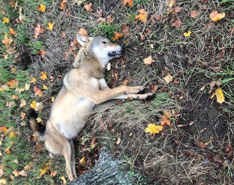 Ein toter Wolf