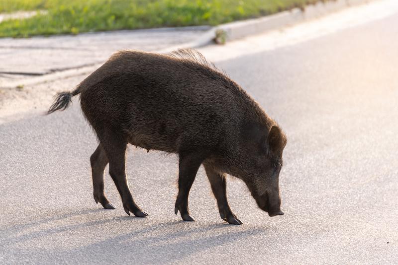 Wildschwein auf einer Straße