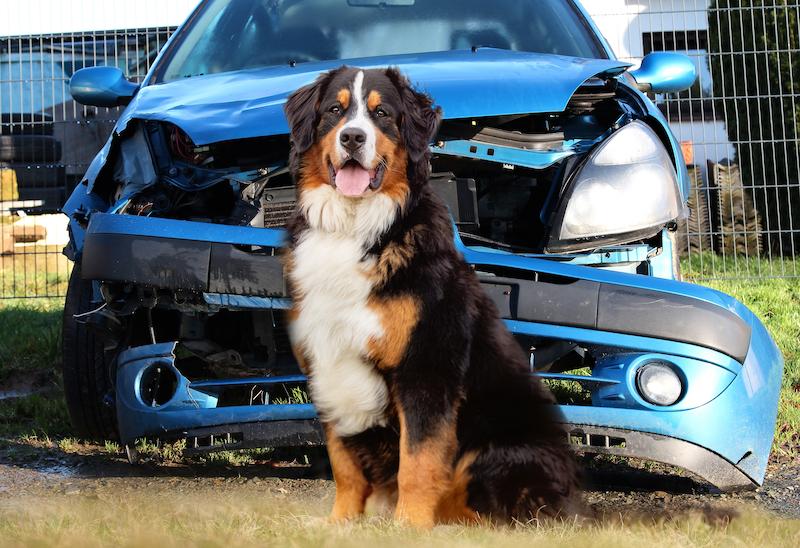 Berner Sennenhund sitzt vor einem demolierten Auto