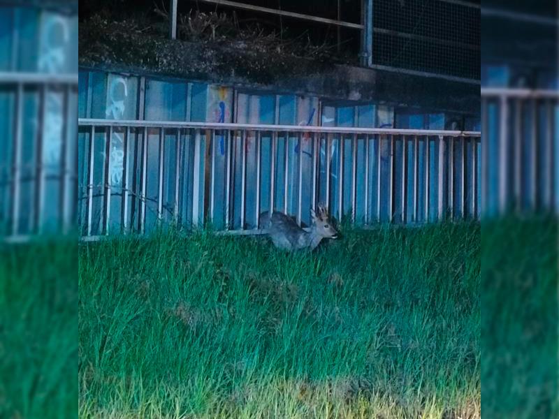 In Zaun eingeklemmter Rehbock