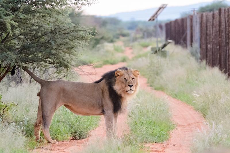 Löwe vor einem Zaun