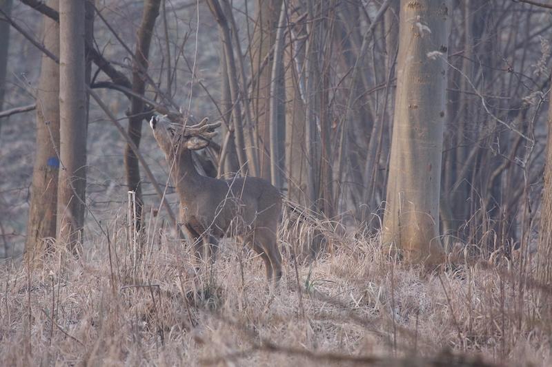 Rehbock fegt an einem Ast im Wald im Spätwinter