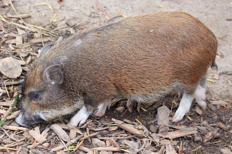 Minischwein in einem Garten